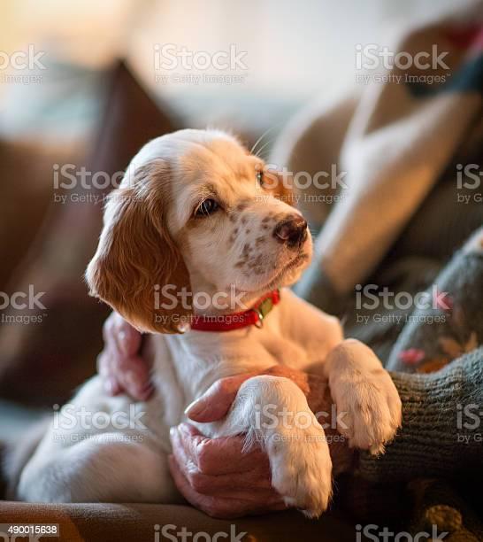English setter as therapy dog on a senoir womans lap picture id490015638?b=1&k=6&m=490015638&s=612x612&h=onjchori7pmfnz0nzmd9az8kbwcjxlhwlo5duha99eq=