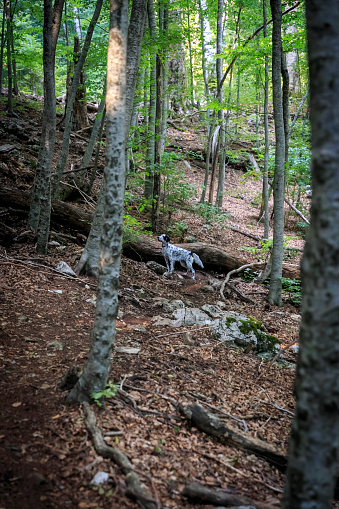 English setter dog hunting in the forest