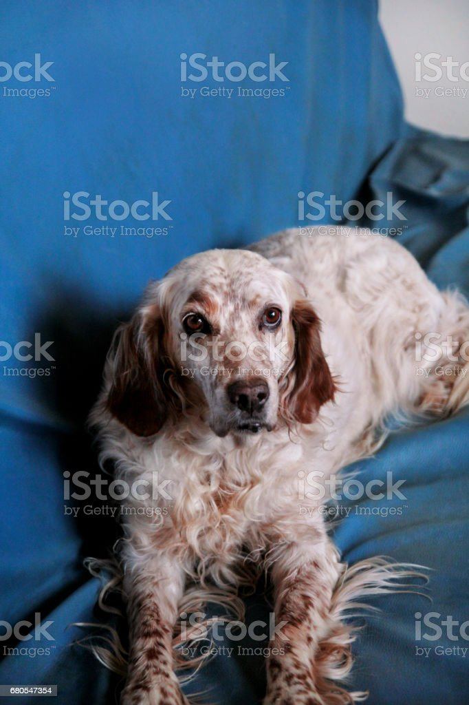 English setter dog. The beautiful dog enjoys the blue bed, posing in front of the camera. stock photo