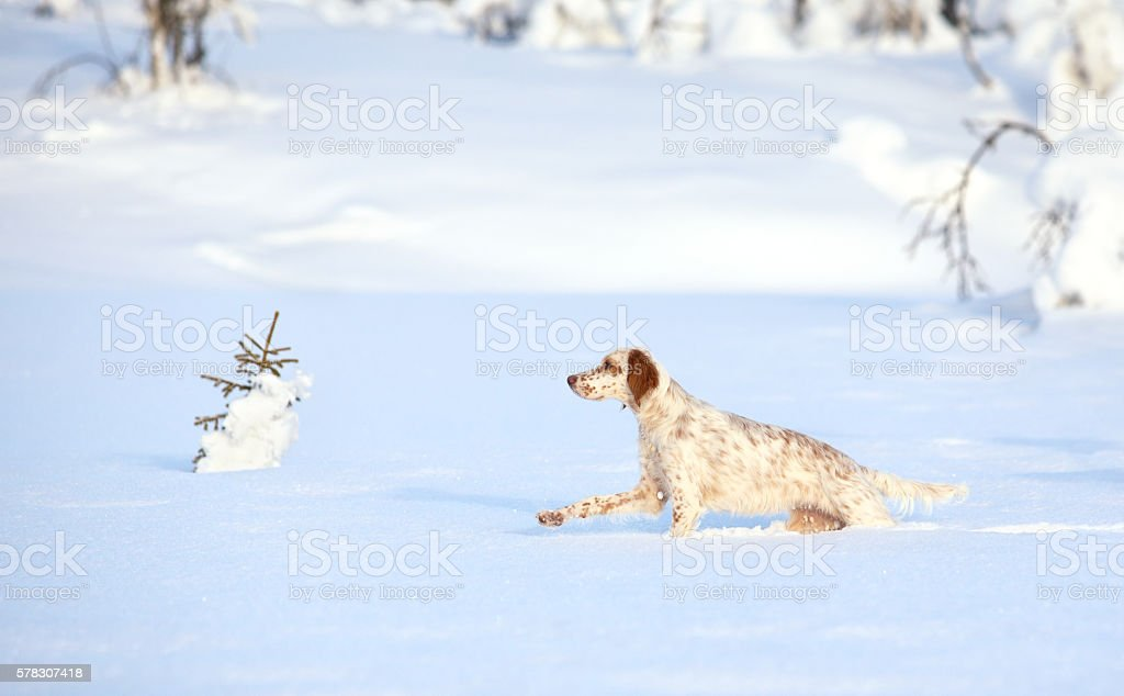English Setter hunting in the snow, Synnfjell Oppland Norway stock photo