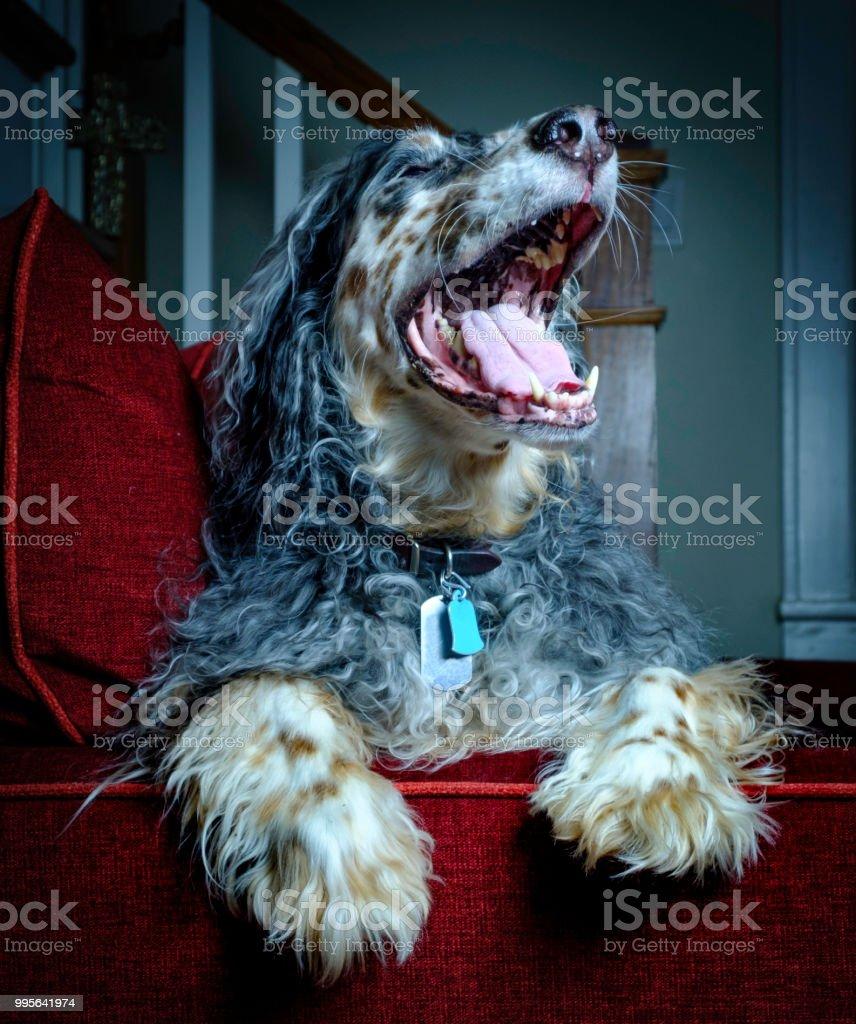 English Setter Laughing stock photo