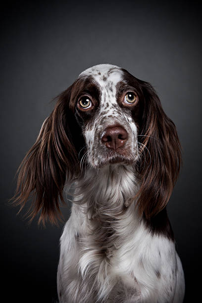 English Setter. stock photo