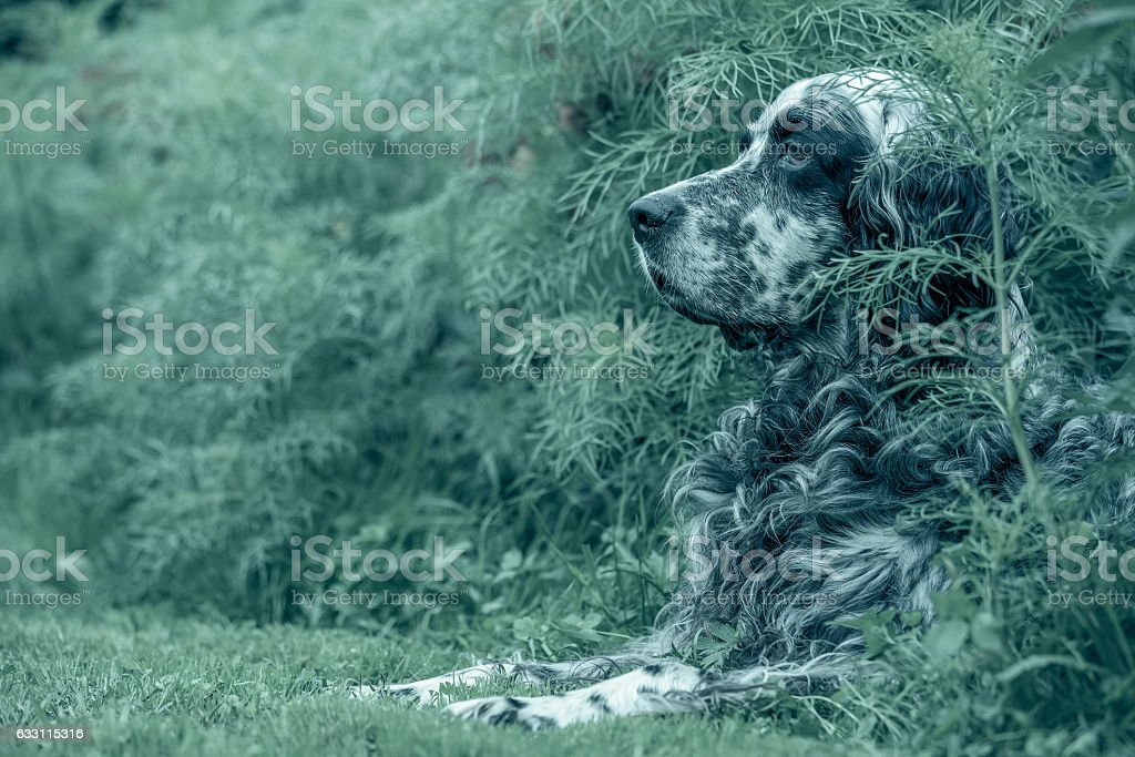English setter royalty-free stock photo