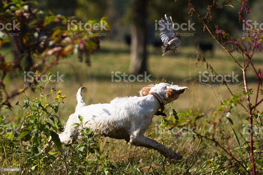 English Setter Puppy Chasing Quail stock photo