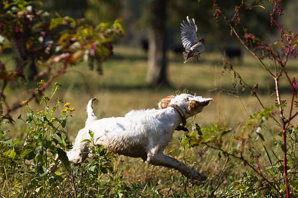 setter anglais chiot poursuivre quail - colin photos et images de collection