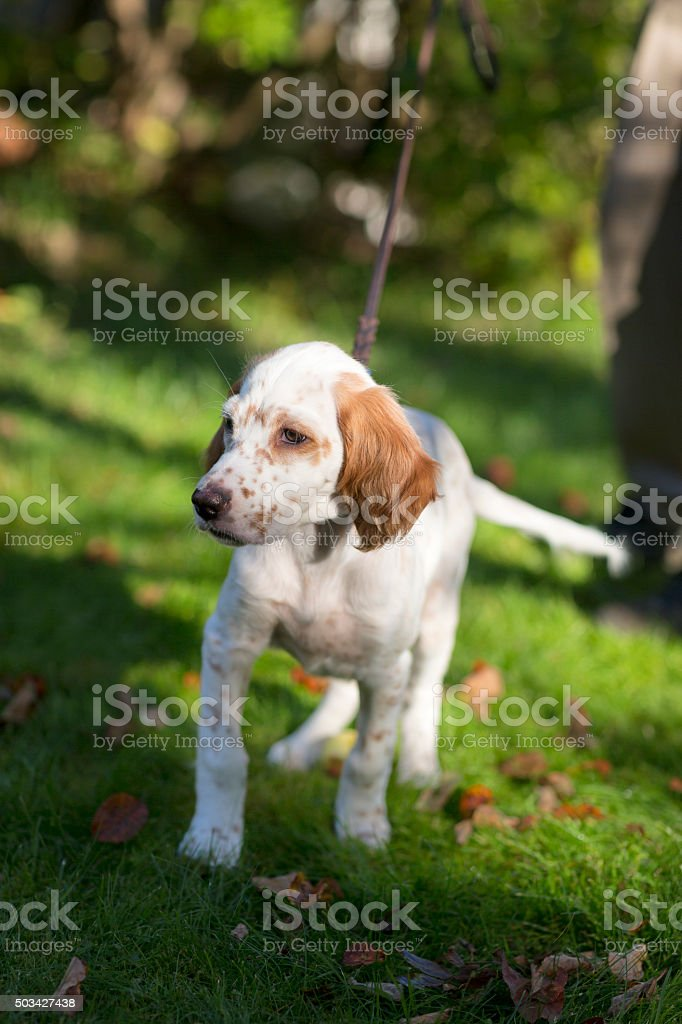 English Setter puppy in the garden, Oslo Norway stock photo