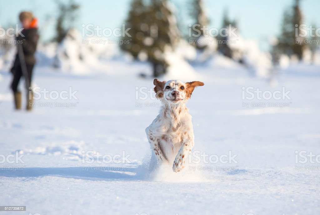 English Setter puppy playing in the snow, Synnfjell Oppland Norway stock photo