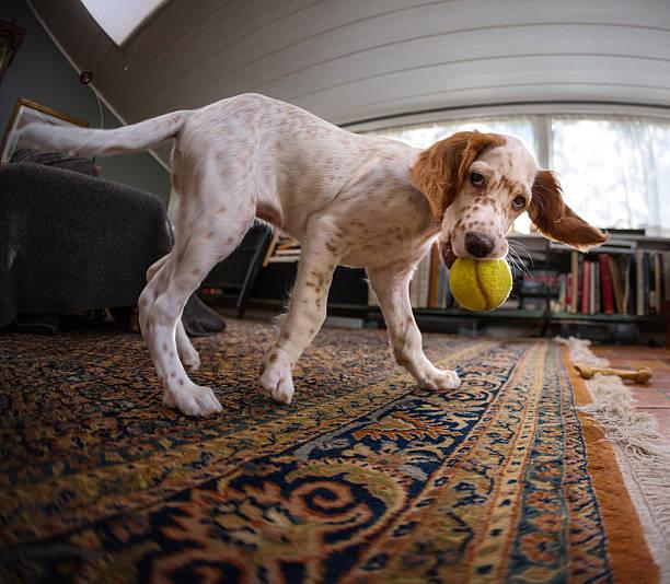 English setter puppy playing with a tennis ball norway picture id494567812?b=1&k=6&m=494567812&s=612x612&w=0&h=xbuh bctvv5667lmxaz6m5ai7rdjrulqkw2ef3tqoq0=