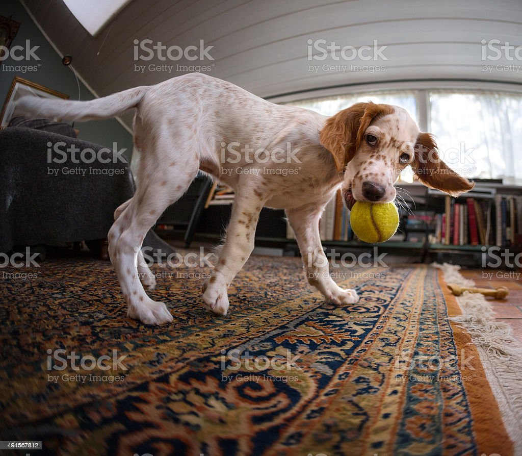 English Setter puppy playing with a  tennis ball, Norway stock photo