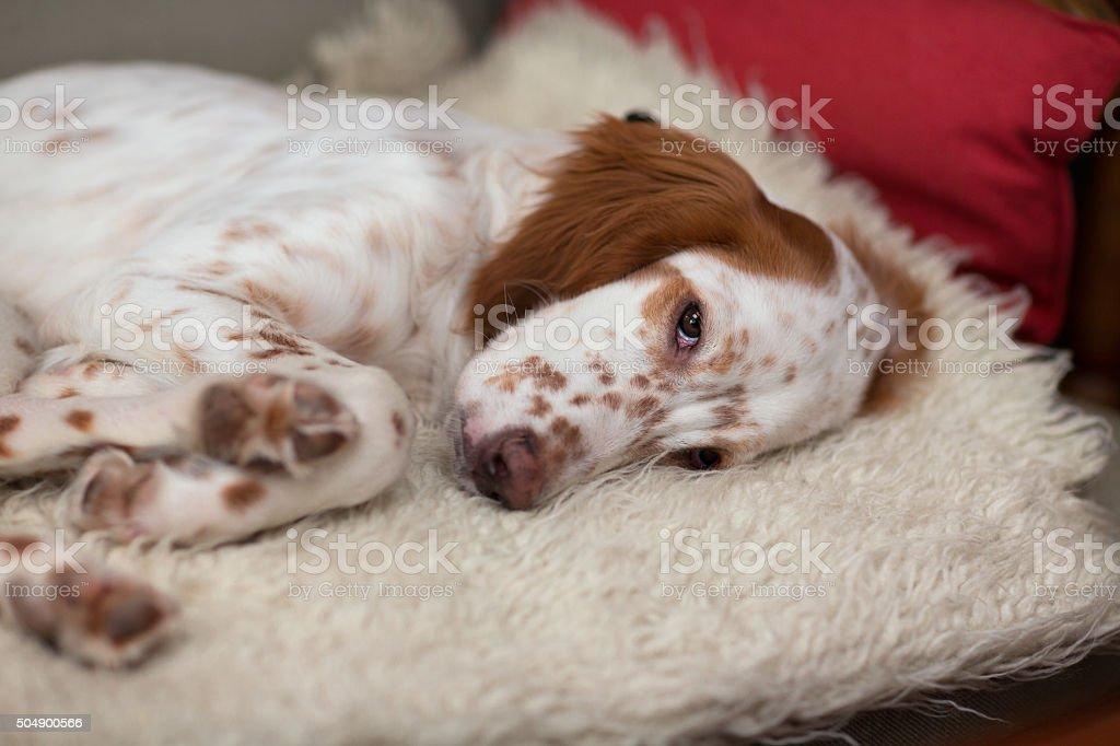 Setter Inglese Cucciolo Che Dorme Sul Divano Norvegia Fotografie