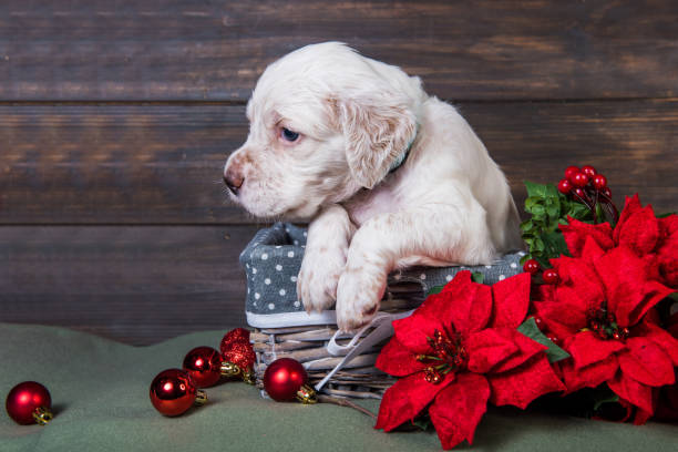 English setter puppy with poinsettia red flowers. stock photo