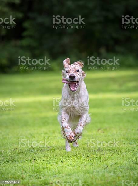 English setter running towards the camera norway picture id476224647?b=1&k=6&m=476224647&s=612x612&h=emyni bzyidoevlszb97hp90tluunkmybpwqxudpfdq=