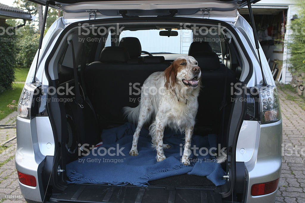 English setter waiting in the car royalty-free stock photo