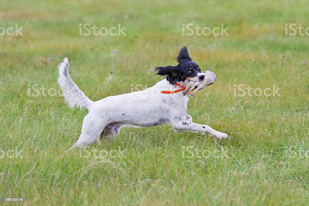 English Setter with a bird royalty-free stock photo