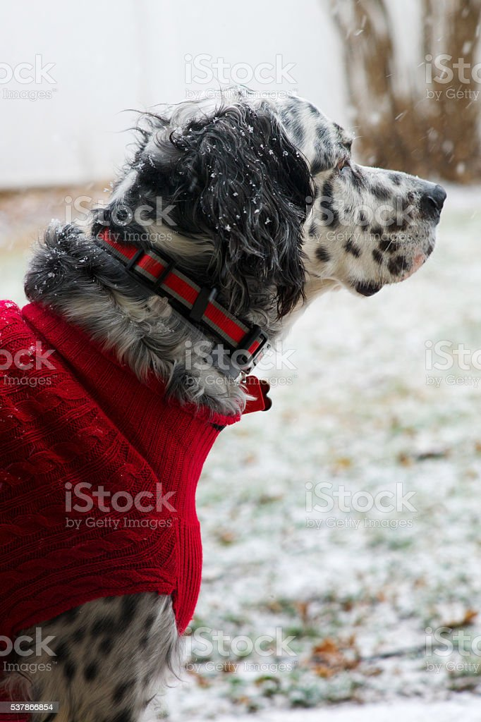 English Setter with Red Sweater stock photo