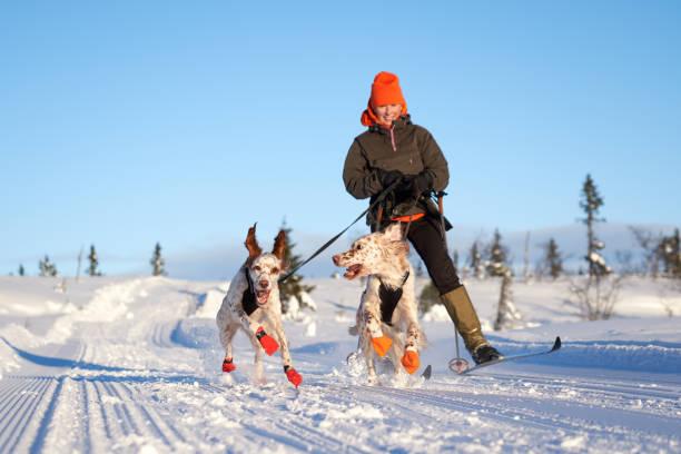 English setters running in the snow oppland county norway picture id903115168?b=1&k=6&m=903115168&s=612x612&w=0&h=prqyoia 91ntcvrpljwtwjgti9tdt0u bevjbnz6uyi=