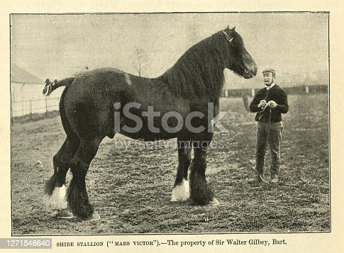 Vintage photograph of an English shire horse stallion, Mars Victor, 19th Century. The Shire is a British breed of draught horse. It is usually black, bay, or grey. It is a tall breed, and Shires have at various times held world records both for the largest horse and for the tallest horse.