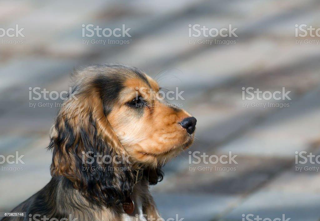English Show Cocker Spaniel Puppy Profile Stock Photo Download Image Now Istock