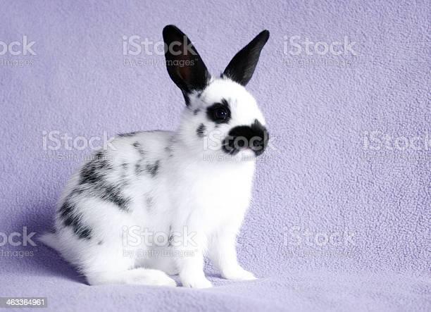 English spot rabbit picture id463364961?b=1&k=6&m=463364961&s=612x612&h=smvupodfopxa tsmto85buhkgcedv2enpteup9cshva=