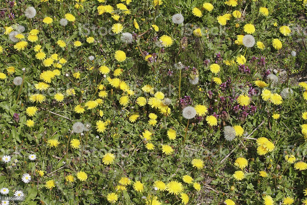 English spring meadow flowers daisies and dandelion clocks royalty-free stock photo