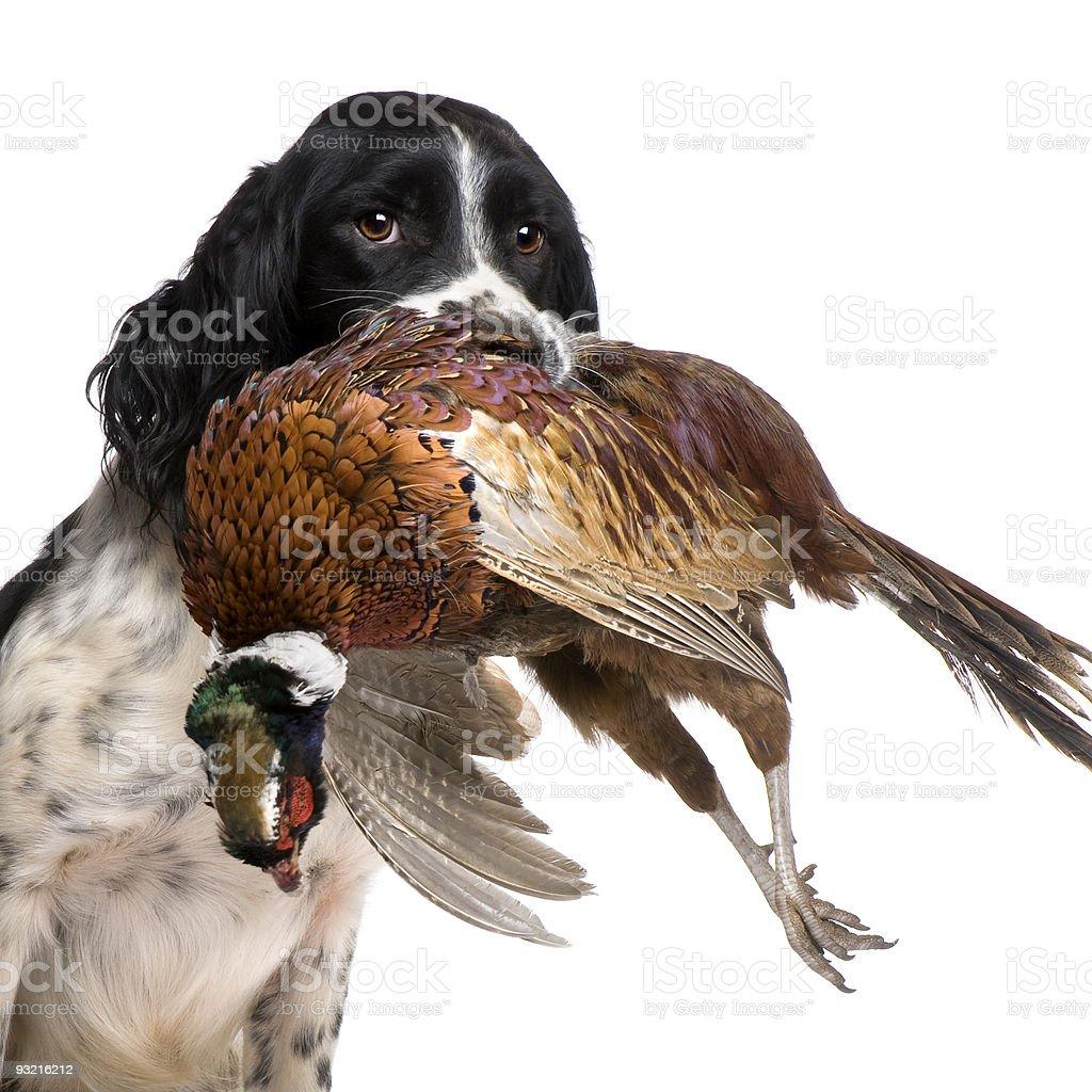 English Springer Spaniel hunting (1 year) stock photo