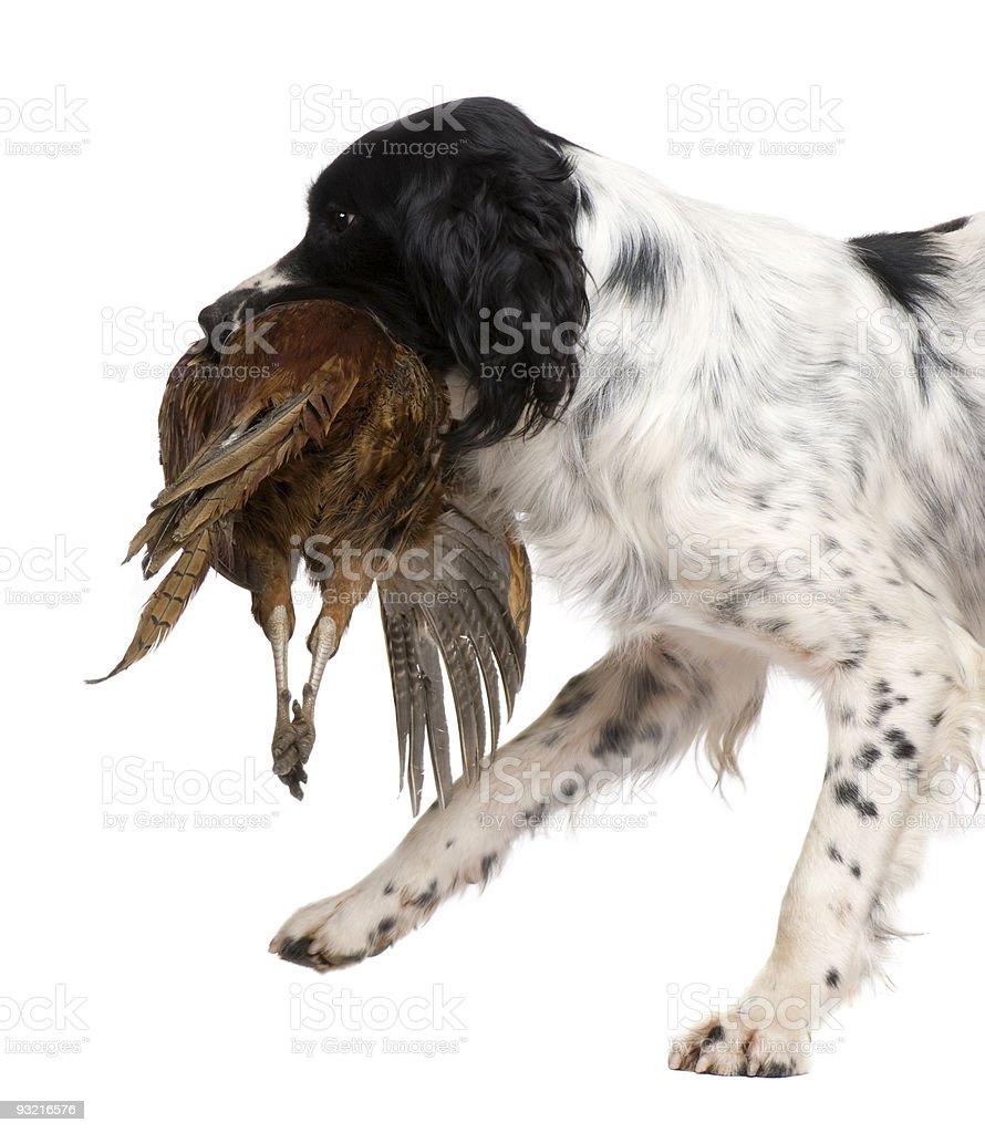 English Springer Spaniel hunting (1 year) royalty-free stock photo