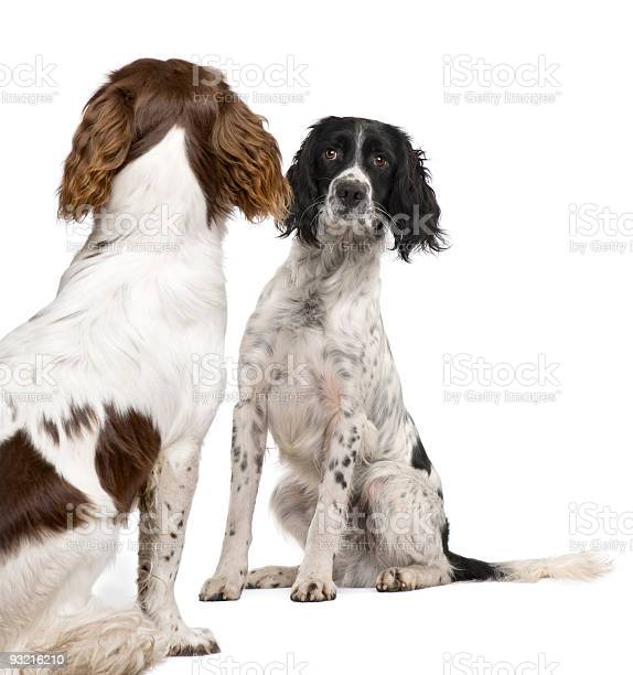 English springer spaniel looking each other picture id93216210?b=1&k=6&m=93216210&s=612x612&h= gfq7 kcxlhbkqp9kxsjwzjkqobdxdyxnidbe 3duvg=
