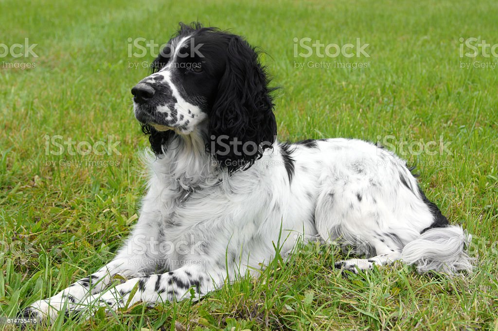 English Springer Spaniel lying on the grass, looking away stock photo