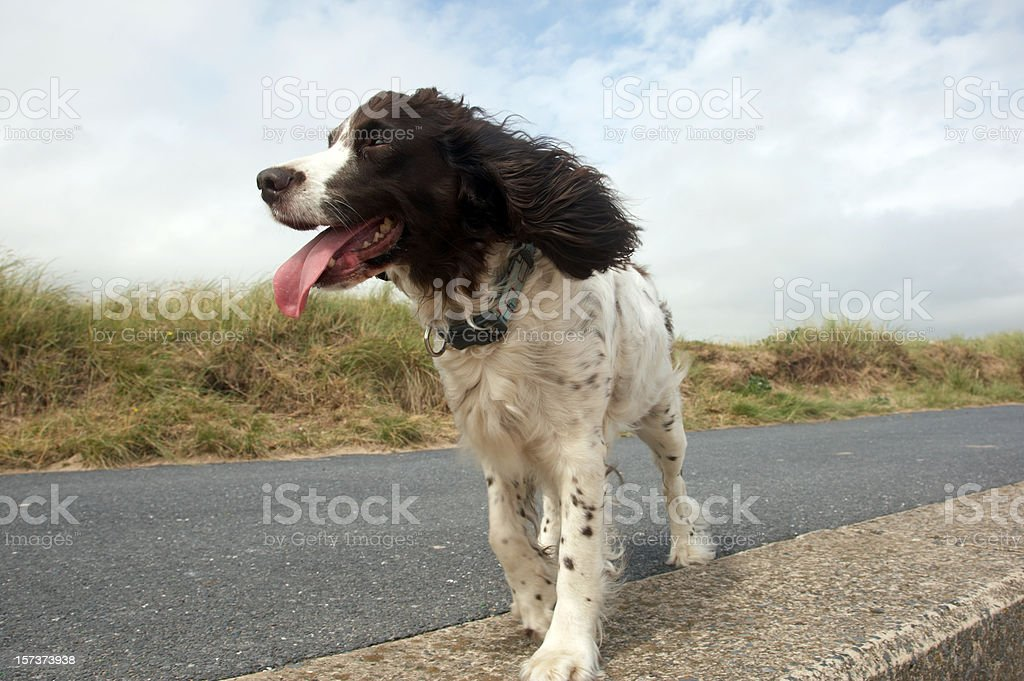 English springer spaniel on path stock photo