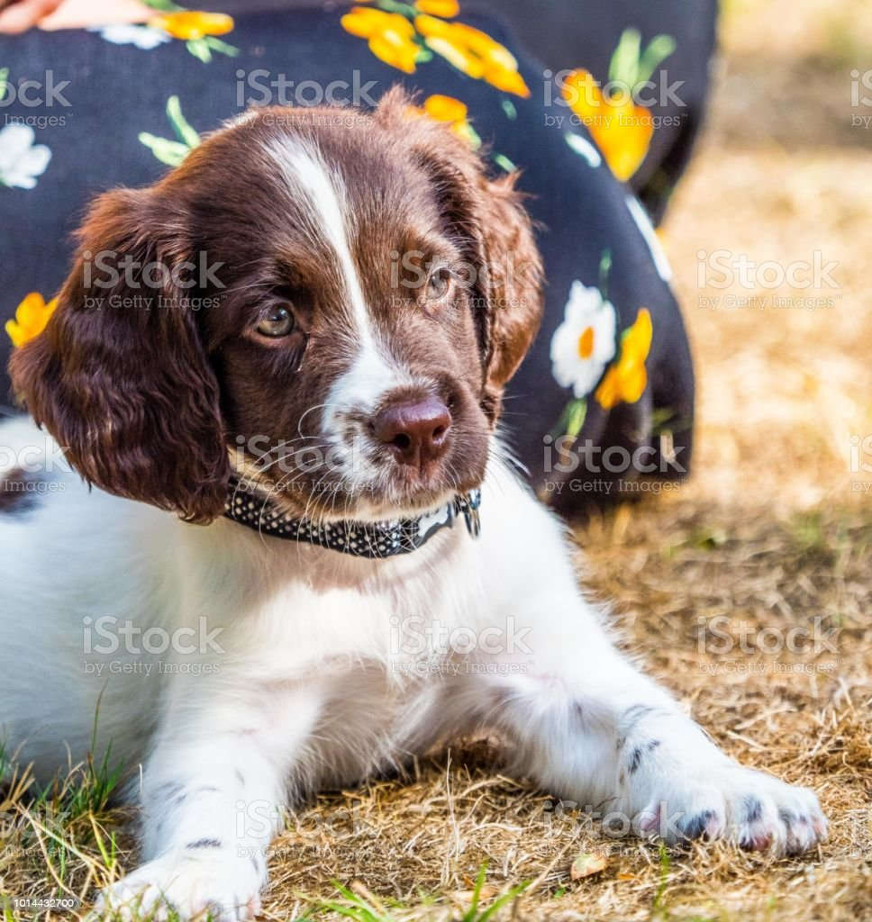 English Springer Spaniel Puppy Looking Cute Stock Photo Download Image Now Istock