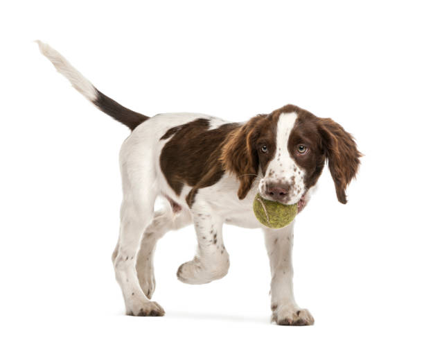 english springer spaniel walking with tennis ball in its mouth against white background stock photo