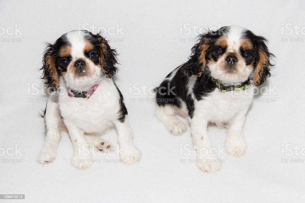 English Toy Spaniel Puppies Stock Photo Download Image Now Istock