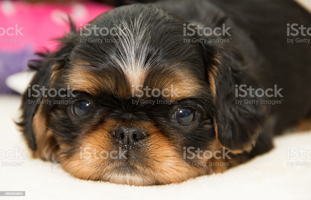 English Toy Spaniel Puppy Stock Photo Download Image Now Istock