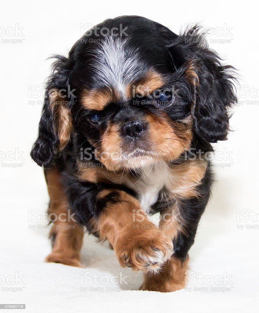 English Toy Spaniel Puppy Walking Towards The Viewer Stock Photo Download Image Now Istock
