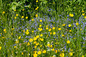 English Wildflowers beside a country path including buttercups and Forget me not.