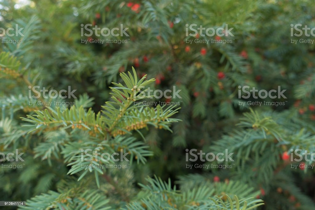 English yew branches with male and female cones in autumn stock photo