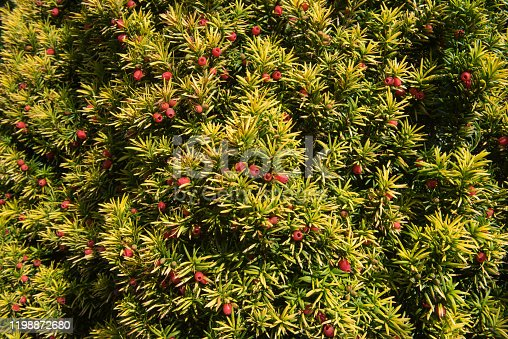Red Berries of a Yew Tree are called Arils and the Foliage is Poisonous