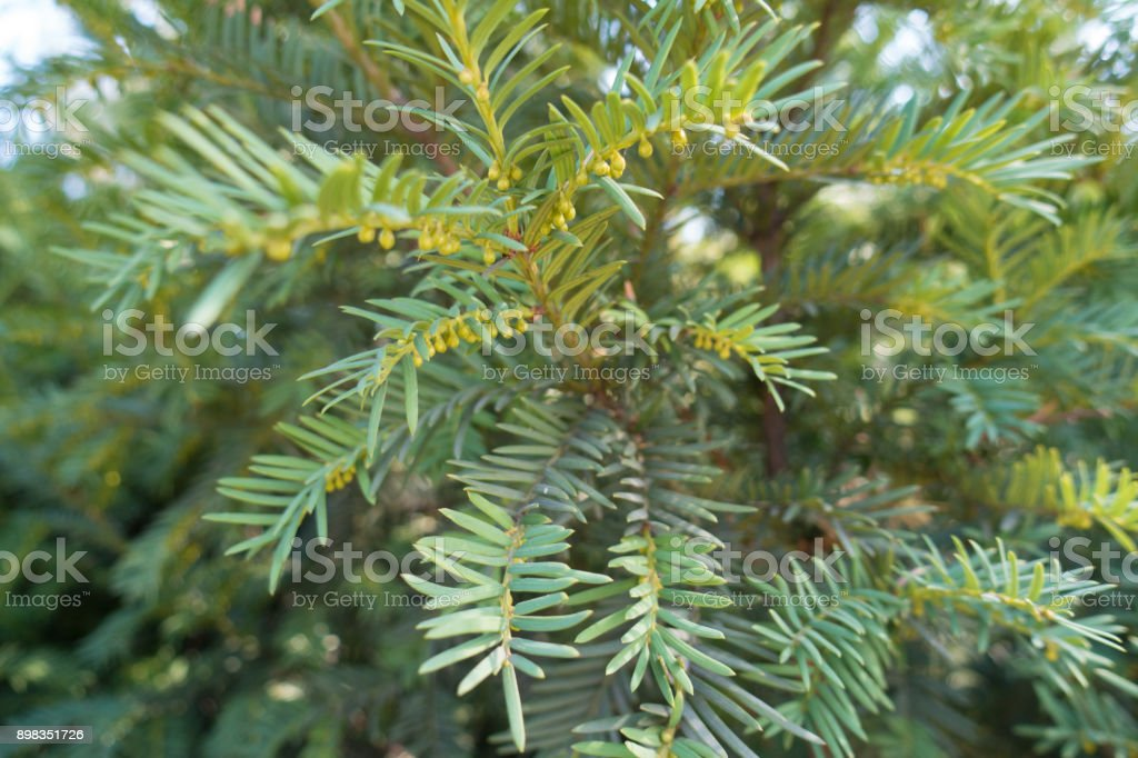 English yew shoot with immature male cones stock photo