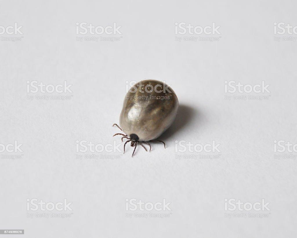 Engorged castor bean tick stock photo