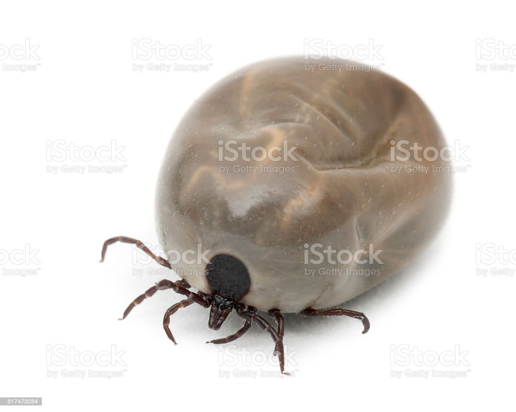 Engorged of blood Castor bean tick stock photo
