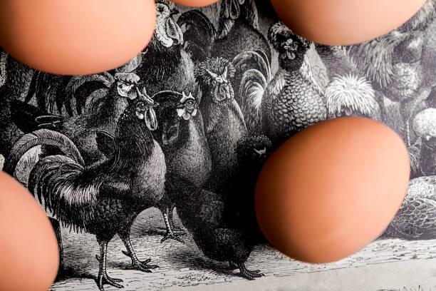 gravierte hühnerfleisch und eiern - eierstich stock-fotos und bilder