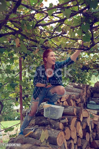 lifestyle shot of smiling farm worker woman in the wineyard harvesting grapes.