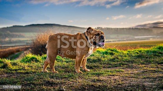 Bulldog, Portrait, Nature, outdoors, UK