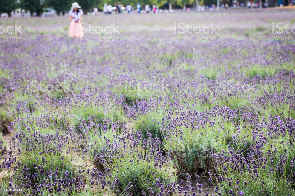 Enjoying the Lavender Field stock photo