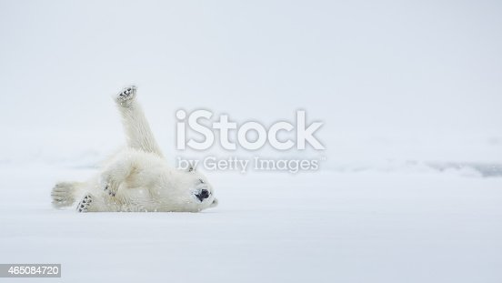 Polar bear on ice. Arctic sea. Over a two-page with environment