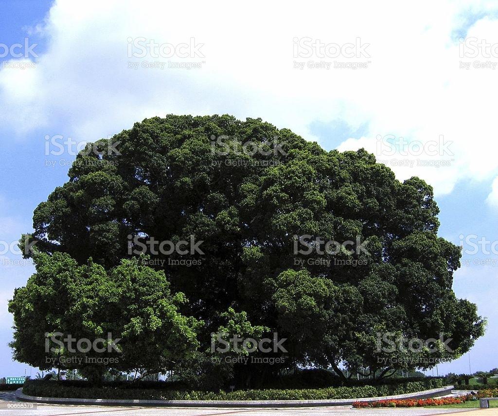 Enormous Banyan Tree royalty-free stock photo