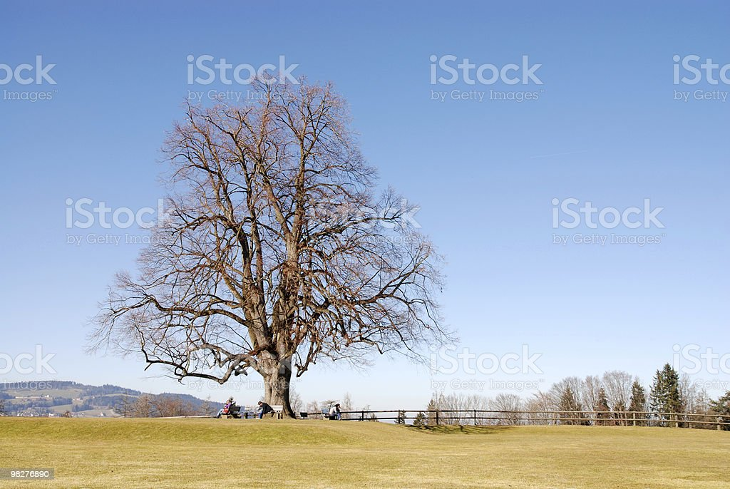 enormous linden on a sunny spring day royalty-free stock photo