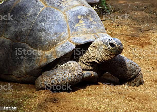 Enormous south african tortoise the bergskilpad picture id178751558?b=1&k=6&m=178751558&s=612x612&h=mfe9otcgztteyhizrlz4mmwmuiyt6nzp6xgy 1ov2ag=