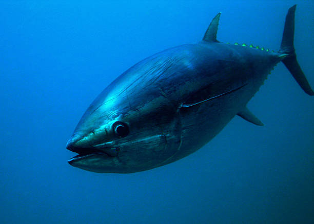 Enormous tuna fish in a blue background stock photo