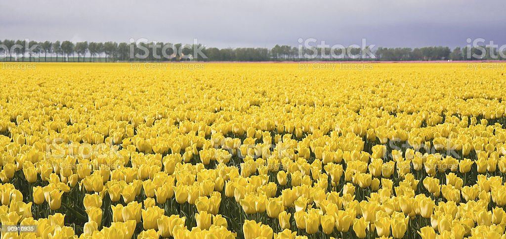 Enormous yellow field of Dutch tulips royalty-free stock photo